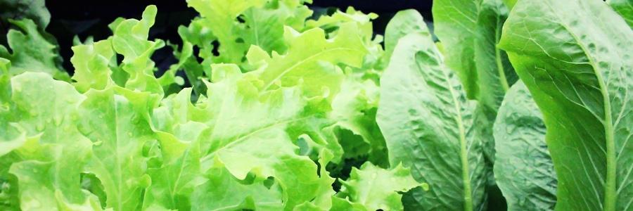 Täglich mehr Blattgrün und Salat essen